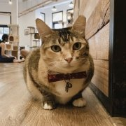 The Cat Cafe - Brownie